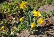 Die ersten Frühlingsboten_1