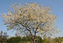 Kirschbaumblüte im Heil Kunst Garten_1